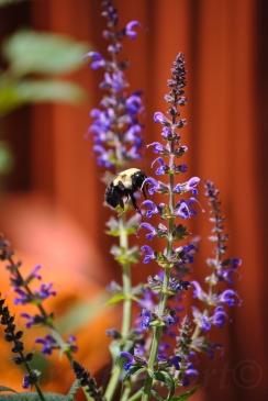 Bumble Bee vs Purple Flower 1