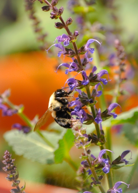 Bumble Bee vs Purple Flower 2