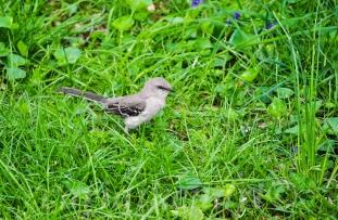Mockingbird 3