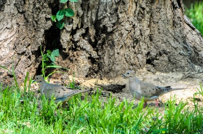 Mourning Dove Couple