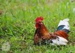 Leghorn Rooster 2WM